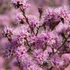 Kunzea parvifolia (Violet kunzea) at Percival Hill - 18 Oct 2015 by gavinlongmuir