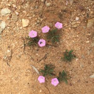 Convolvulus angustissimus subsp. angustissimus at Bungendore, NSW - 14 Nov 2015