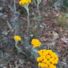 Chrysocephalum semipapposum (Clustered Everlasting) at O'Connor, ACT - 1 Nov 2015 by ibaird