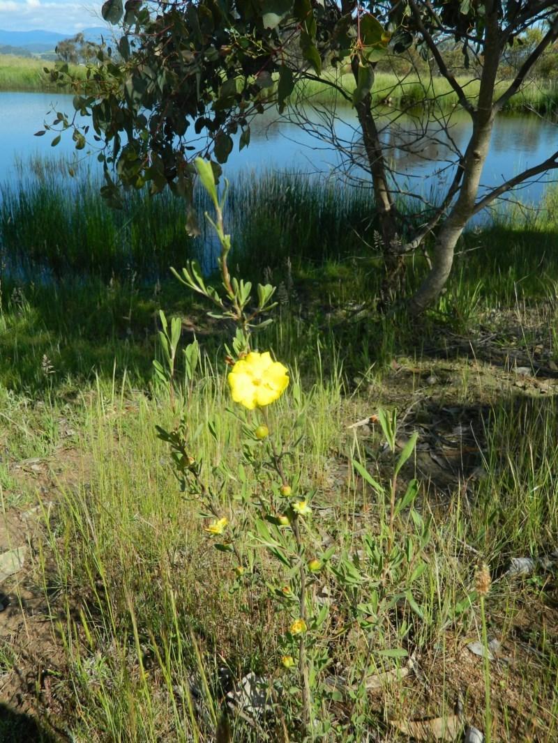 Hibbertia obtusifolia at Wanniassa Hill - 15 Nov 2015