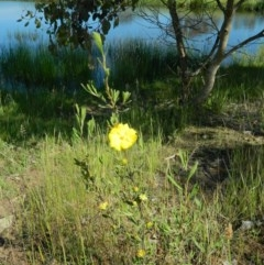 Hibbertia obtusifolia (Grey Guinea-flower) at Wanniassa Hill - 14 Nov 2015 by RyuCallaway