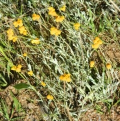 Chrysocephalum apiculatum (Common Everlasting) at Wanniassa Hill - 14 Nov 2015 by RyuCallaway