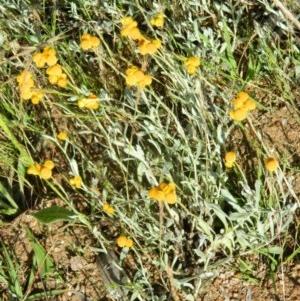 Chrysocephalum apiculatum at Wanniassa Hill - 15 Nov 2015