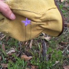 Wahlenbergia stricta subsp. stricta (Tall Bluebell) at Bungendore, NSW - 15 Nov 2015 by yellowboxwoodland