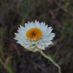 Leucochrysum albicans subsp. tricolor (Hoary Sunray) at Theodore, ACT - 7 Nov 2015 by michaelb