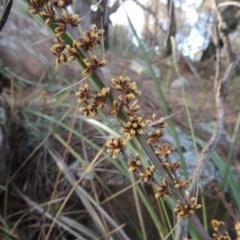 Lomandra longifolia (Spiny-headed Mat-rush, Honey Reed) at Theodore, ACT - 7 Nov 2015 by michaelb