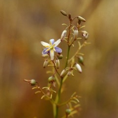 Dianella sp. aff. longifolia (Benambra) (Pale Flax Lily, Blue Flax Lily) at Conder, ACT - 23 Jan 2000 by michaelb
