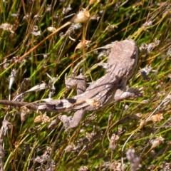 Amphibolurus muricatus at Hackett, ACT - 21 Mar 2005