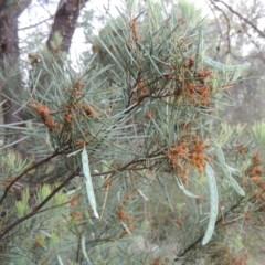 Acacia boormanii (Snowy River Wattle) at Tuggeranong Hill - 7 Nov 2015 by michaelb