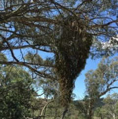Amyema miquelii (Box Mistletoe) at Bungendore, NSW - 21 Nov 2015 by yellowboxwoodland