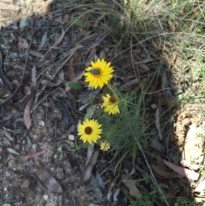 Xerochrysum viscosum at Bungendore, NSW - 21 Nov 2015