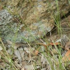 Morethia boulengeri (Boulenger's Skink) at Jerrabomberra Grassland - 21 Nov 2015 by RyuCallaway