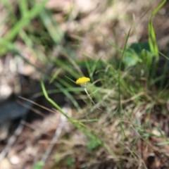 Leptorhynchos squamatus subsp. squamatus at Bruce Ridge - 21 Nov 2015 by ibaird
