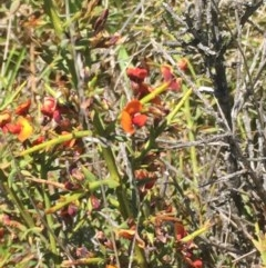 Daviesia genistifolia (Broom Bitter Pea) at Mount Clear, ACT - 25 Nov 2015 by jackfrench