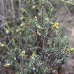 Gompholobium huegelii (Pale Wedge Pea) at O'Connor, ACT - 22 Nov 2015 by ibaird