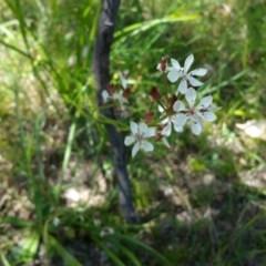 Burchardia umbellata (Milk Maids) at Mount Taylor - 26 Nov 2015 by ACT Parks - Invasive Plants Team