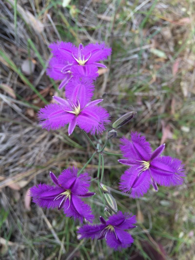 Thysanotus tuberosus subsp. tuberosus at Bungendore, NSW - 28 Nov 2015