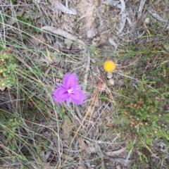 Thysanotus tuberosus subsp. tuberosus (Common Fringe-lily) at Bungendore, NSW - 28 Nov 2015 by yellowboxwoodland