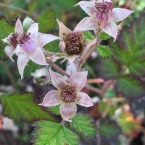 Rubus parvifolius at Bungendore, NSW - 28 Nov 2015
