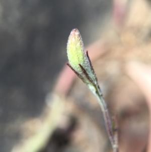 Goodenia hederacea at Black Mountain - 29 Nov 2015
