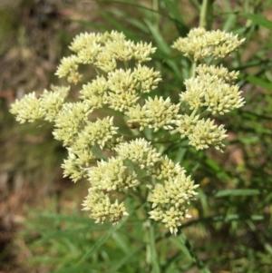 Cassinia longifolia at Black Mountain - 29 Nov 2015