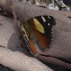 Vanessa itea (Yellow Admiral) at Black Mountain - 24 Oct 2015 by galah681