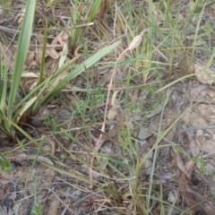 Caladenia sp. at Black Mountain - 28 Nov 2015 by MichaelMulvaney
