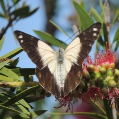 Belenois java (Caper White) at Conder, ACT - 17 Nov 2015 by michaelb