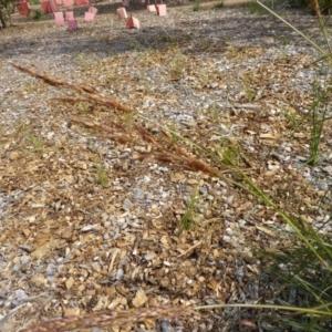 Sorghum leiocladum at Sth Tablelands Ecosystem Park - 17 Nov 2015