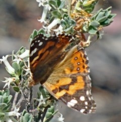 Vanessa kershawi (Australian Painted Lady) at Black Mountain - 24 Oct 2015 by galah681