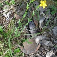 Hypericum gramineum (Small St Johns Wort) at Black Mountain - 22 Nov 2015 by galah681