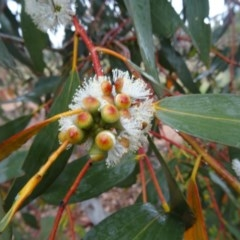 Eucalyptus pauciflora subsp. pauciflora (White Sally, Snow Gum) at Sth Tablelands Ecosystem Park - 11 Nov 2015 by galah681