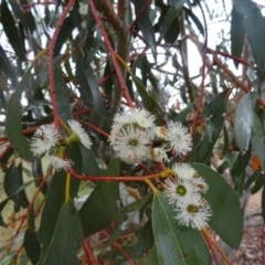 Eucalyptus pauciflora subsp. pauciflora at Sth Tablelands Ecosystem Park - 12 Nov 2015