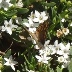 Junonia villida (Meadow Argus) at Sth Tablelands Ecosystem Park - 2 Dec 2015 by galah681