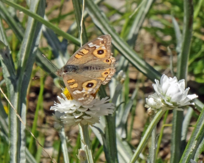 Junonia villida at Sth Tablelands Ecosystem Park - 3 Dec 2015