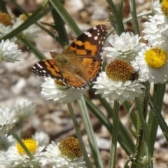 Vanessa kershawi (Australian Painted Lady) at Sth Tablelands Ecosystem Park - 2 Dec 2015 by galah681