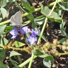 Zizina otis at Sth Tablelands Ecosystem Park - 3 Dec 2015