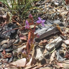 Stylidium graminifolium (Grass Triggerplant) at Sth Tablelands Ecosystem Park - 2 Dec 2015 by galah681