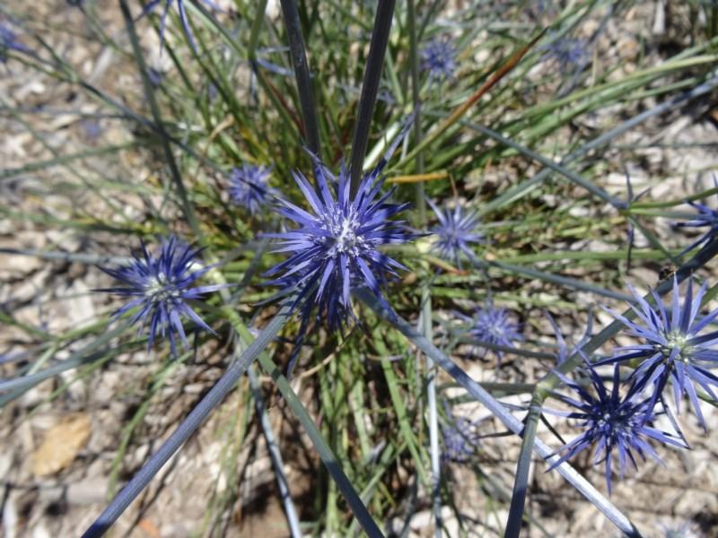 Eryngium ovinum at Sth Tablelands Ecosystem Park - 3 Dec 2015