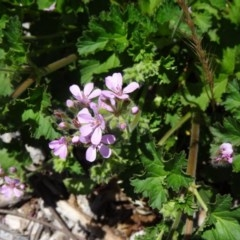 Pelargonium australe (Native Stork's Bill) at Sth Tablelands Ecosystem Park - 2 Dec 2015 by galah681