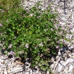 Pelargonium australe at Sth Tablelands Ecosystem Park - 3 Dec 2015