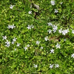 Isotoma fluviatilis subsp. australis (Swamp Isotome) at Tidbinbilla Nature Reserve - 21 Nov 2015 by galah681