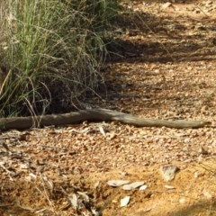 Pseudonaja textilis (Eastern Brown Snake) at Aranda Bushland - 17 Mar 2012 by CathB