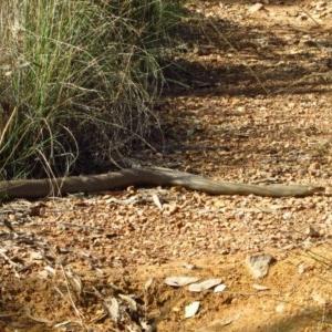 Pseudonaja textilis at Aranda Bushland - 17 Mar 2012