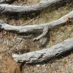 Tiliqua rugosa (Shingleback Lizard) at Majura, ACT - 26 Dec 2015 by MichaelMulvaney