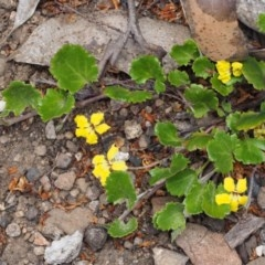 Goodenia hederacea subsp. alpestris at Namadgi National Park - 10 Dec 2015 by KenT