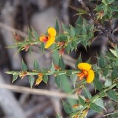Daviesia ulicifolia subsp. ruscifolia at Namadgi National Park - 9 Dec 2015 by KenT