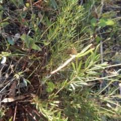 Lotus australis (Austral trefoil) at Red Hill Nature Reserve - 28 Dec 2015 by MichaelMulvaney