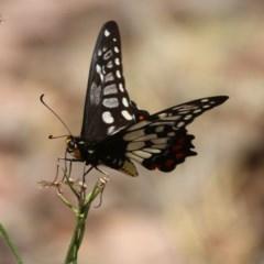 Papilio anactus (Dainty Swallowtail) at Majura, ACT - 22 Dec 2015 by SuziBond
