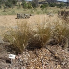 Poa labillardierei (Common Tussock Grass, River Tussock Grass) at Sth Tablelands Ecosystem Park - 16 Dec 2015 by galah681